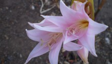Amaryllis belladonna at Sikes Adobe