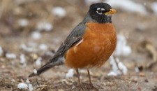 American Robin Christopher L. Wood
