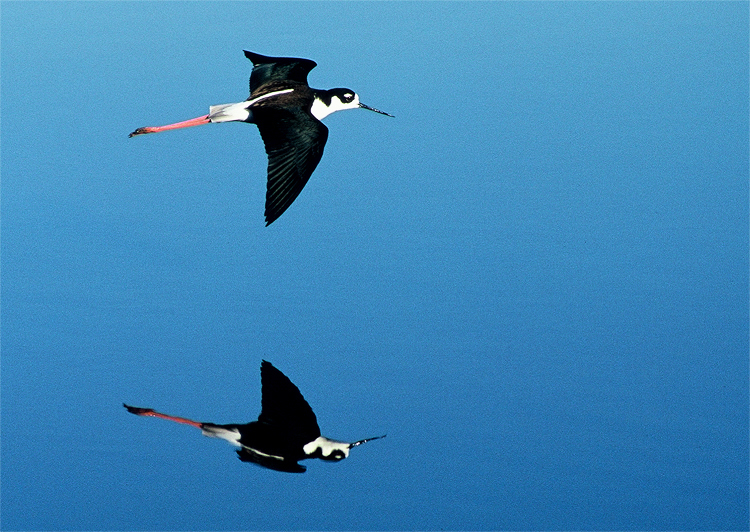 black-necked-stilt-robyn-waayer