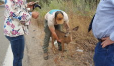 Fawn Rescue on Highland Valley Road