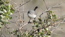 Ginni Kitchen Blue-gray Gnatcatcher San Dieguito Lagoon