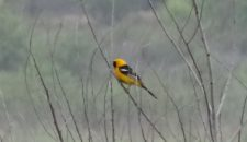 Hooded Oriole Bernardo Bay Natural Area Ginni Kitchen