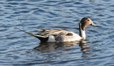 northern-pintail-san-dieguito-lagoon-ginni-kitchen