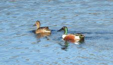 Northern Shovelers Bernardo Bay Natural Area Ginni Kitchen