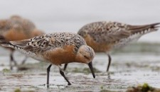 Red Knot Christopher L. Wood