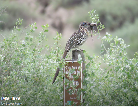 Roadrunner Caught Mouse at Dust Devil Nature Trail by Steve Perry
