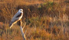 White-Tailed Kite with Pocket Gopher at TP3