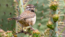 Bird of the Month: Cactus Wren