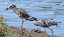 May/June 2019 San Dieguito Lagoon Bird Survey Results