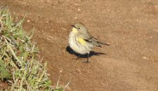 yellow-rumped-warbler-bernardo-bay-natural-area-ginni-kitchen
