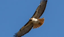 Bird of the Month: Red-tailed Hawk